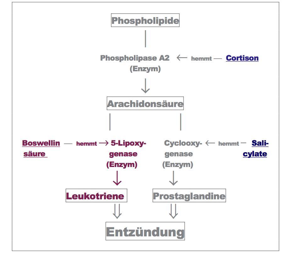 Wirkmechanismus von Weihrauch (Boswellia-serrata)
